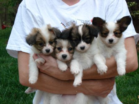 55+ Vey Cute Papillon Puppy Photos And Images