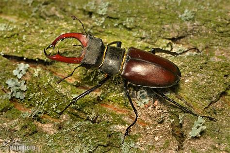 Stag Beetle Photos, Stag Beetle Images, Nature Wildlife