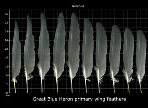 The Feather Atlas - Feather Identification and Scans - U