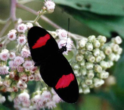 Trinidad and Tobago Butterfly Photo Galleries